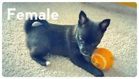 Teacup Pomchi Puppies for sale ready Valentine's Day ONLY 2 left