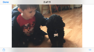 One black goldendoodle puppy left ready to go