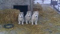 Beautiful Siberian Husky Puppies for Sale
