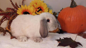 Adorable Holland lop bunnies Kitchener / Waterloo Kitchener Area image 4