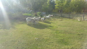 6 Sheep for sale
