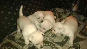 Chihuahua/Terrier Mix Puppies $600