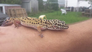 2 leopard geckos and everything needed Peterborough Peterborough Area image 2