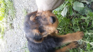 Nb spca 0249 airedale terrier puppy