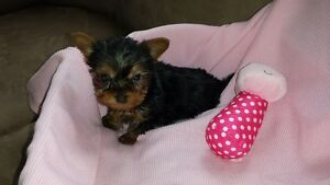 Yorkie (Teacup)-SOLD-2nd mom expecting