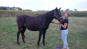 2 Horses For Sale with tack 900.00, Elora