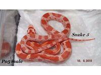 Male corn snake hatchling ready now