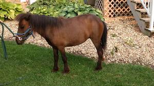 Reg'd AMHR 5 yr. old mare