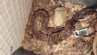 yellow belly ball python pair