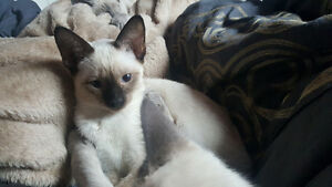 3 Siamese Kittens for Sale!