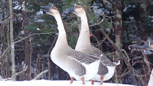 Chinese gander for sale
