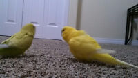 4 lovely budgies for sale with cage and equipment!