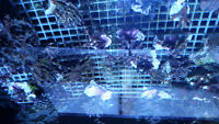 Coral frags and colonies