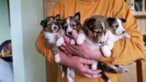 Sheltie Pups for Sale