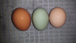 Barnyard Mix Fertilized Eggs $1 an egg
