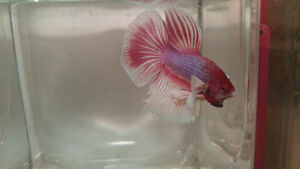 Dumbo Ear Betta (Elephant Ear)