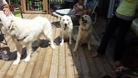 Purebred Great Pyrenees Puppies!!!!