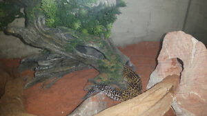 Custom Wood Stand, Glass Tank + 4 female Leopard Geckos and More Peterborough Peterborough Area image 4