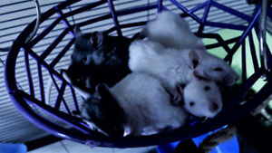 Lakeside Rattery and Rescue: Baby girls available!