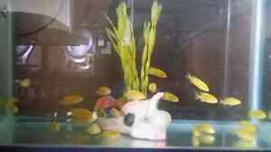 Yellow Electric fish $3 each...