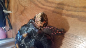 Red footed Tortoise for sale!