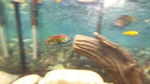Assorted African cichlid breeding groups