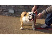 KC reg English British bulldog girl nearly 3 yrs old