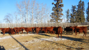 Retirement sale of Purebred Red Angus heifers