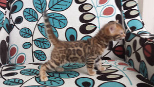 Gorgeous top quality female Bengal tica registered