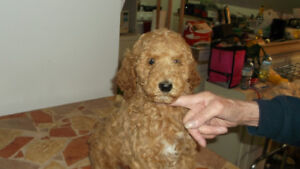 Standard Poodle Puppies for sale! looking for forever homes!