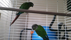 Breeding pair of green cheeked conures