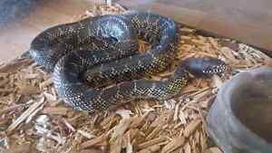 Florida king snake for sale $60