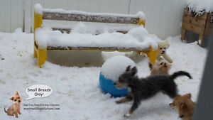 SMALL DOG BOARDING/DAYCARE CAGE-FREE HOME OF CERTIFIED TRAINER West Island Greater Montréal image 9