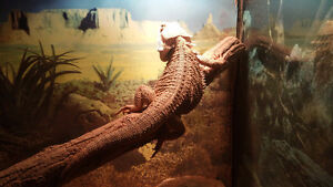 TANK ..×2 BEARDED DRAGONS..SELF TIMMER. Windsor Region Ontario image 3