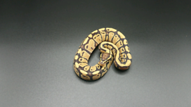 Royal pythons for sale,