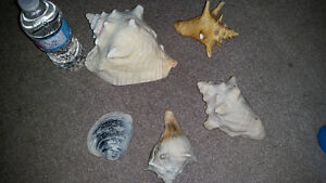 Amazing seashell package only $10 for all. See my other ads..... London Ontario image 1