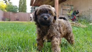 Miniture poodle puppies