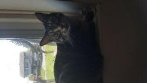 Female Tabby Cat to good home