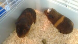 2 ADULT GUINEA PIGS AND A LIVING WORLD CAGE