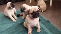 5 Beautiful Pure Bred Pug Puppies Looking For A Loving Home.