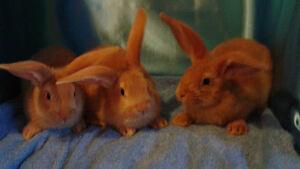 Purebred Flemish-Giant Rabbits