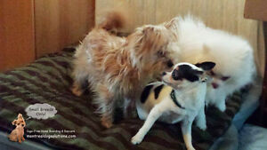 *HOLIDAYS FULL* PLAYDATES/SLEEPOVERS FOR NICE SMALL DOGS West Island Greater Montréal image 3