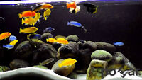 [Wanted] African Cichlids - Contact me!