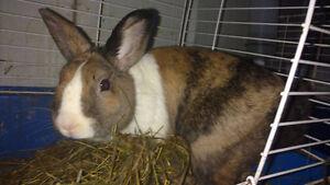 Dutch Dwarf  boy Rabbit