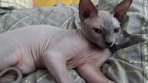 sphynx male a vendre