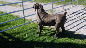 Puppies for sale. African boerboel x Cane Corso