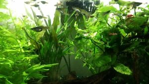 Endler Guppies for sale