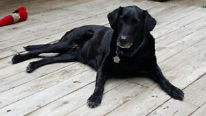 Looking for a Retirement Home for Your Purebred Female Lab?