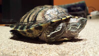3 year old Red Ear Turtle with Aquarium & accessories