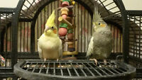Hand Tame Cockatiels for Sale